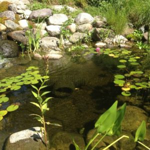 crystal-clear-koi-pond-in-west-harrison-ny