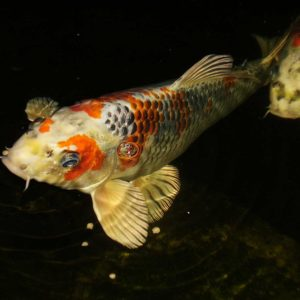 koi-of-westchester-county