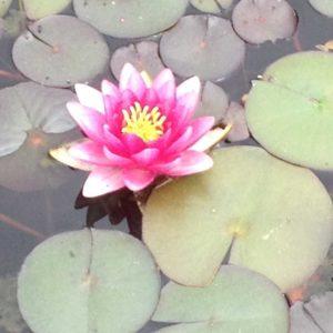 lily-flower-dutchess-county-pond