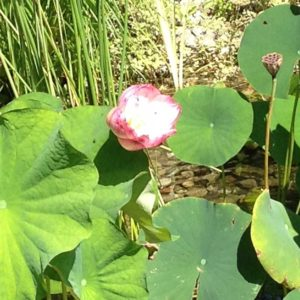 lotus-flower-in-water-agrden-of-westchester-county-ny