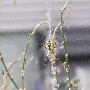 pond-garden-spider