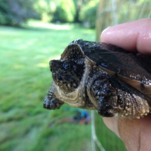 pond-life-snapper-turtle