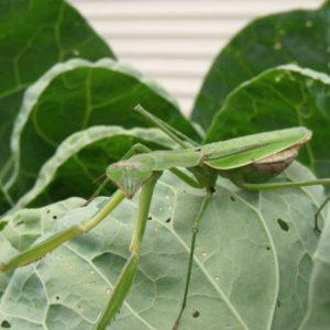 praying-mantis-of-new-york
