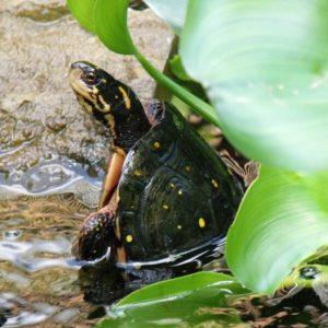 turtles-in-water-gardens-new-york