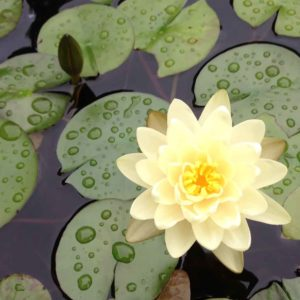 water-lily-in-bedford-ny-pond-build