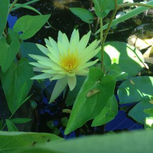 water-lily-in-shade-ulster-county-ny