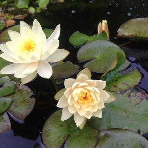 water-lily-of-new-york